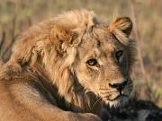 G Lion